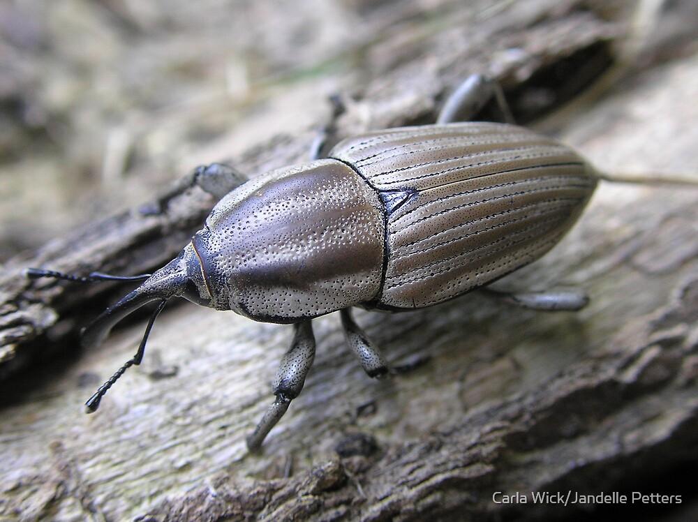 Weevil-O's (Clay-Colored Billbug) by Carla Wick/Jandelle Petters