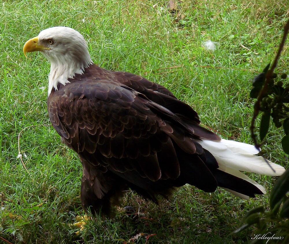 A Eagle  by kelleybear