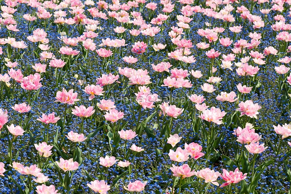 Pink Foxtrot tulips with blue forget-me-nots by Arletta Cwalina