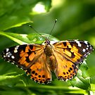 Painted Lady by Lisa Putman