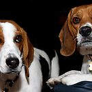 Beagles by Sue  Cullumber