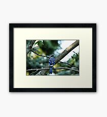 Singing The Blues - Blue Jay Framed Print