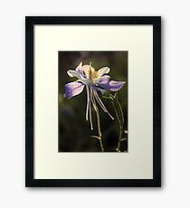 Rocky Mountain Columbine Framed Print