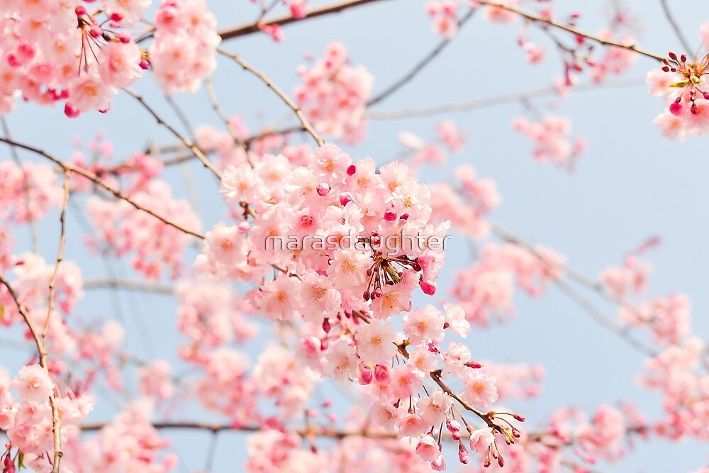 cherry blossoms by marasdaughter