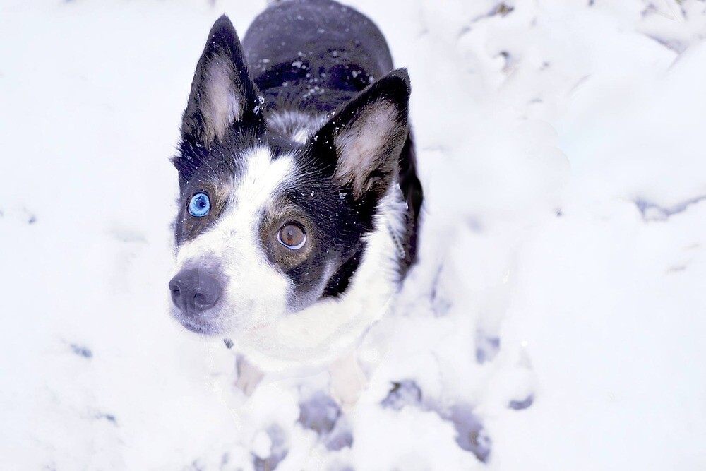 Blue and Brown eyed Collie by deadcultoure