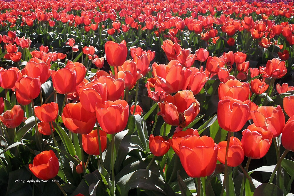 Tulips. by Norm  Lewis
