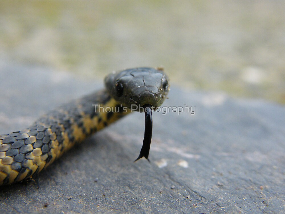 Baby Tasmanian Tiger snake by Thow's Photography
