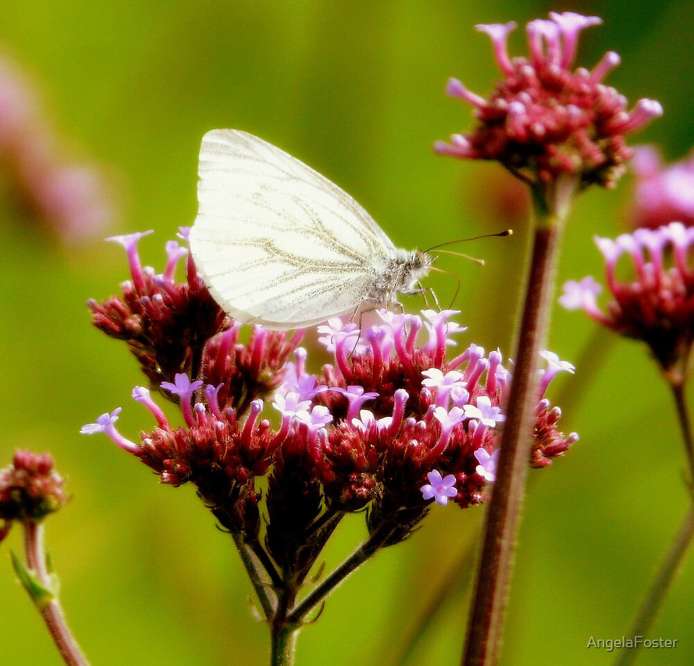 white wings by AngelaFoster