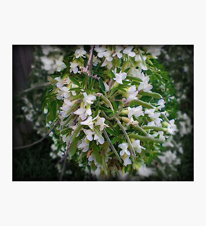 Lucerne Tree - Spring, Australia 2010 Photographic Print