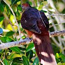 Brown cuckoo-dove  by myraj