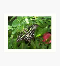 Graphium agamemnon (Tailed Jay) Art Print