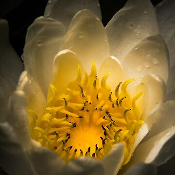Water lilies by RedRose