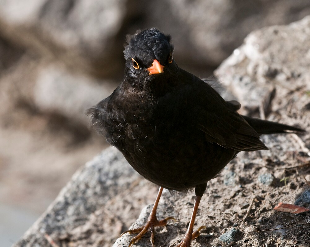 Blackbird by James Tate