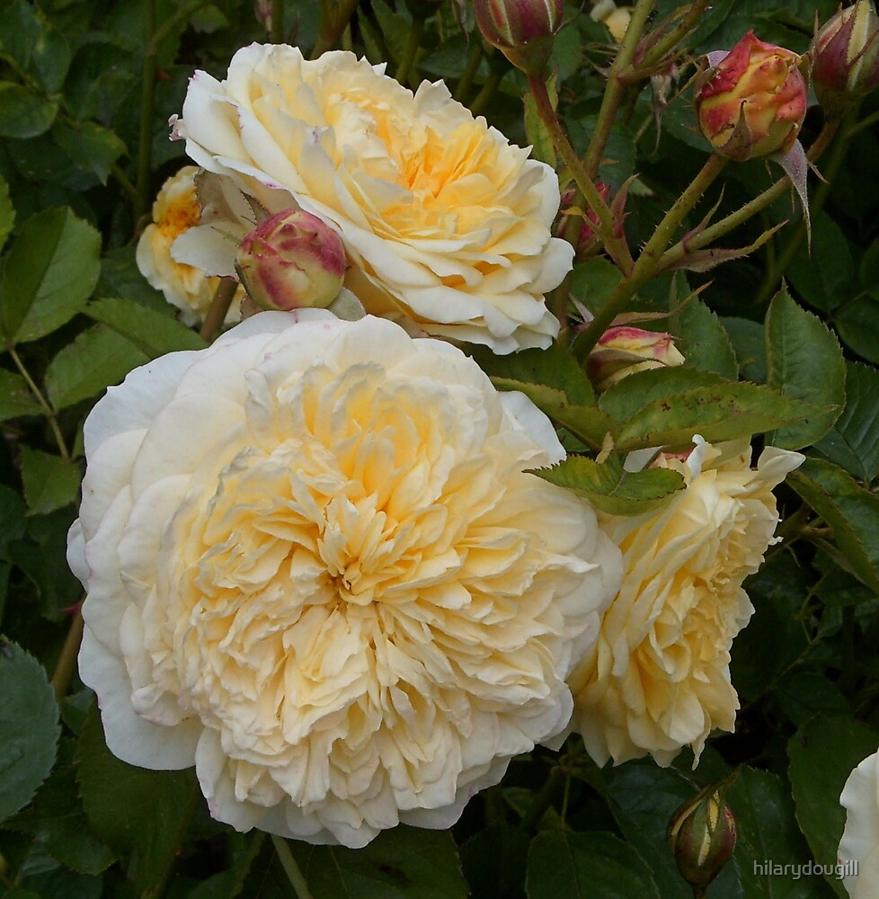 Yellow Roses by hilarydougill