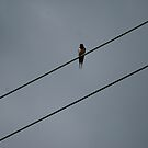 Bird On A Wire by dougie1