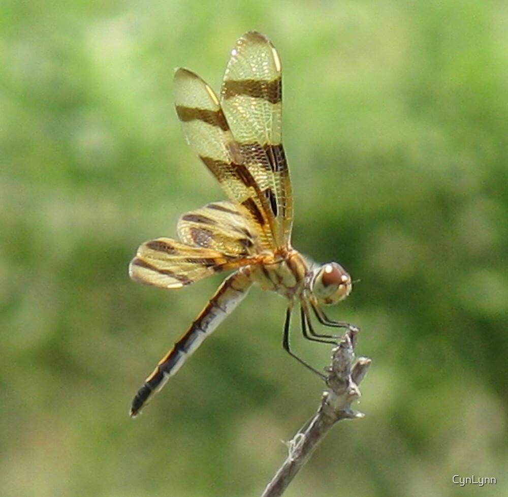 Texas Dragonfly #2 by CynLynn