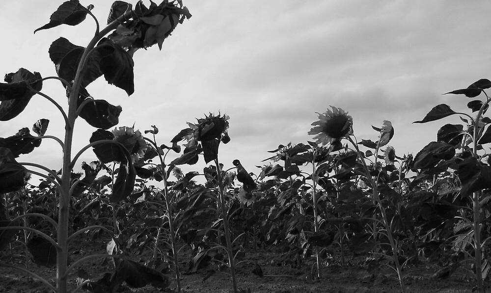 Sunflowers by Jennifer Suttle