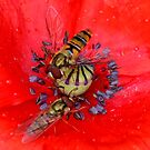 Hover Flies on a Poppy by AnnDixon
