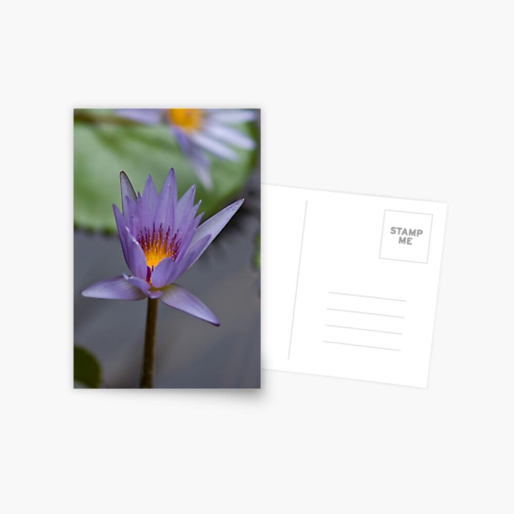 Lavender Lily Postcard