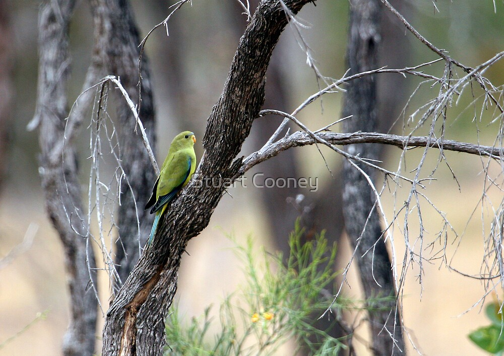 Elegant Parrot by Stuart Cooney