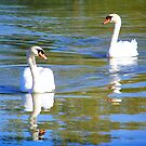 Swans A Swimming by James Brotherton