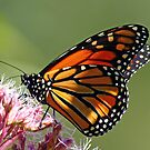 Monarch And Milkweed by Debbie Oppermann