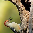 Woodpecker Storing Up For Winter by TJ Baccari Photography