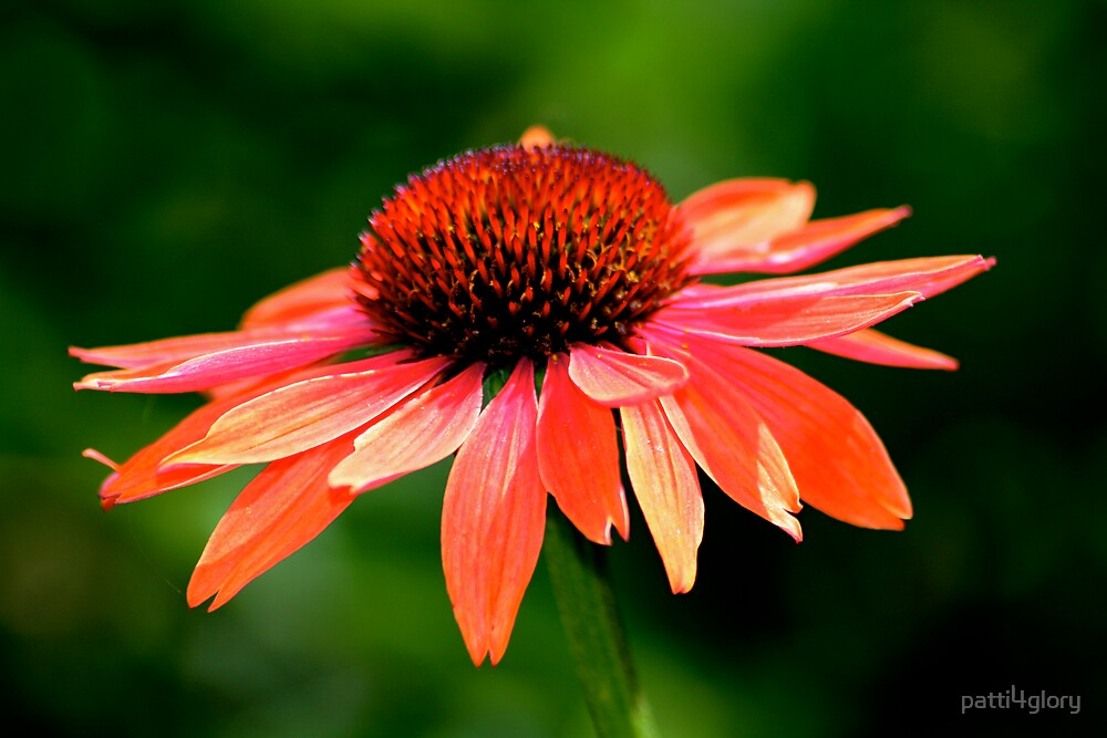 Coral Coneflower by patti4glory