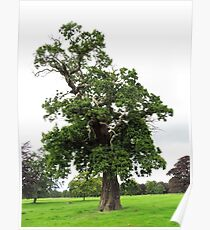 Ancient Spanish Chestnut Tree Poster