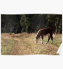Grazing on the old bush track Poster