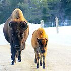 Mama and Baby Bison Out for a Stroll by vette