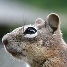 golden-mantled ground squirrel by Kimberly Palmer