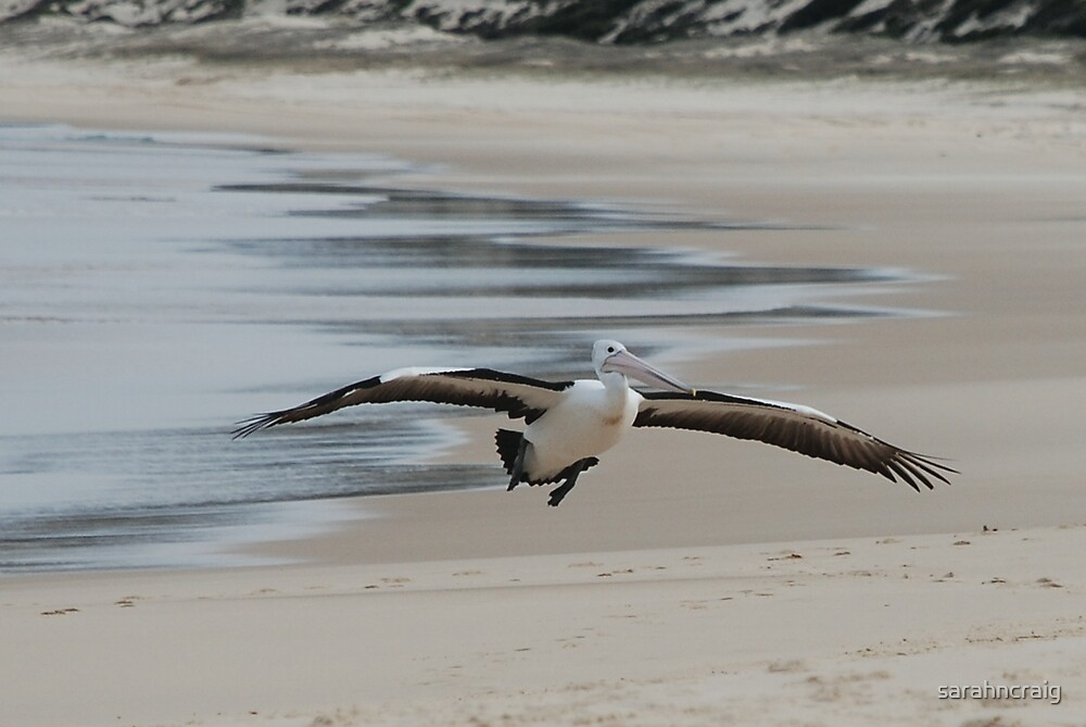 Pelican In Flight 2 by sarahncraig