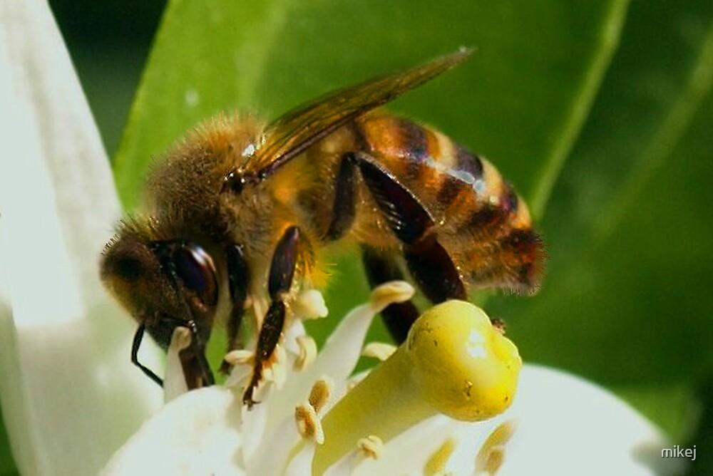 Orange Blossom Honey by mikej