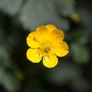 Solitary Buttercup by Jason Heritage