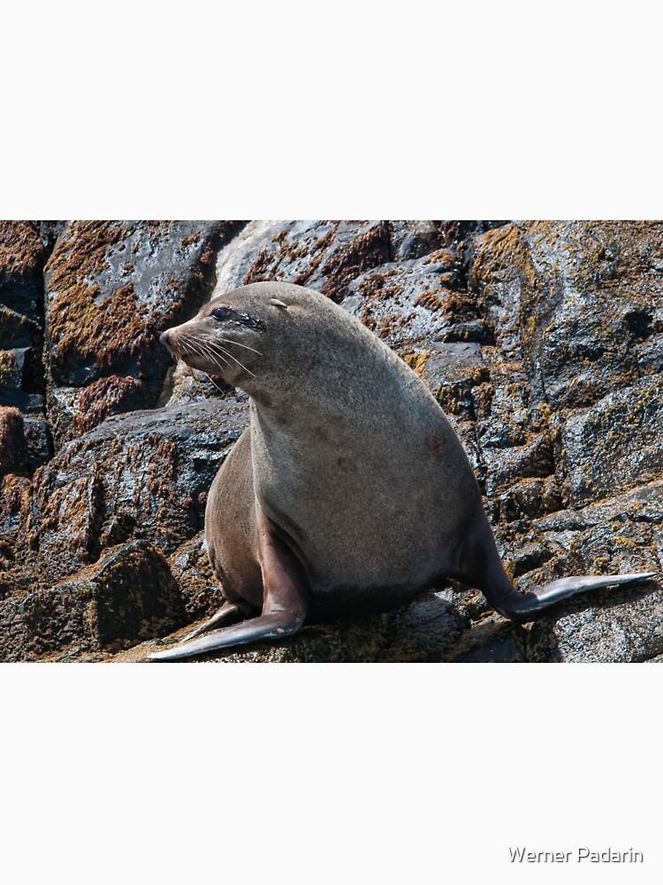 Australian Fur Seal 2 by fotoWerner