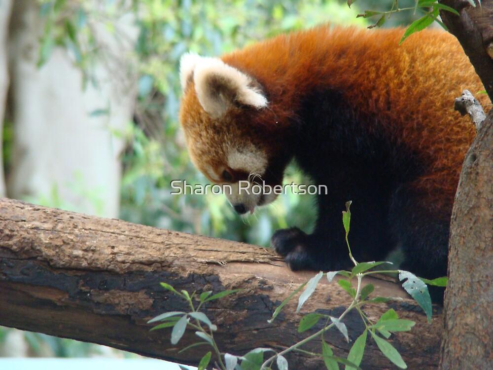 Red Panda by Sharon Robertson