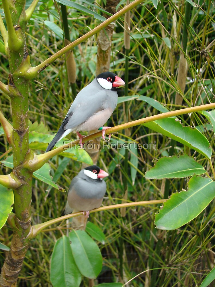 Finches by Sharon Robertson