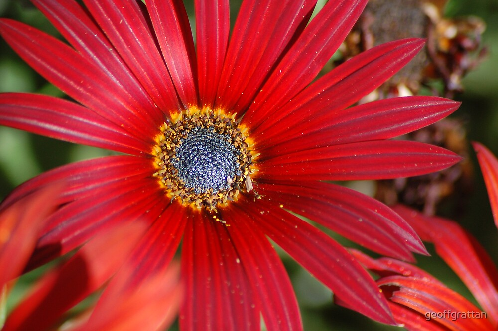 red daisy by geoffgrattan