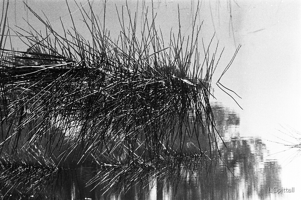 Reflecting Reeds by L Spittall