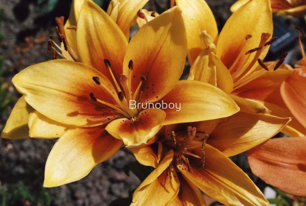 Orange Lillies by Brunoboy