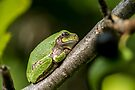 Gray Tree Frog by Michael Cummings