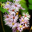Lovely Calico Asters  by lorilee