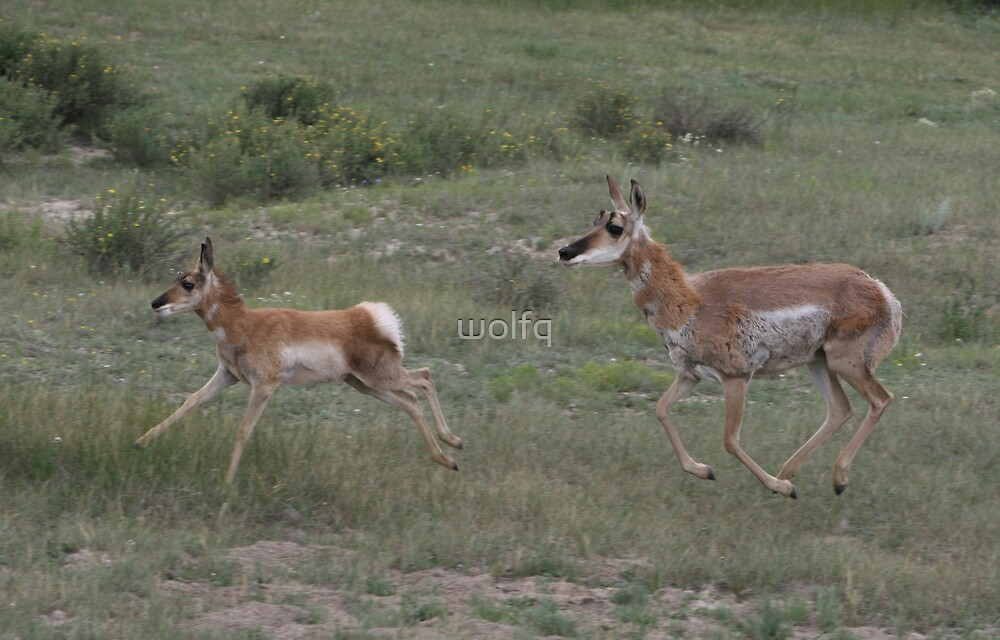 Running Antelope by wolfq