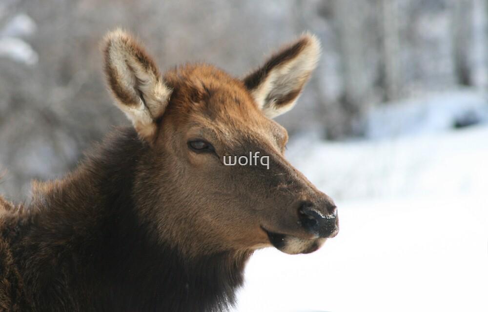 Elk in winter by wolfq