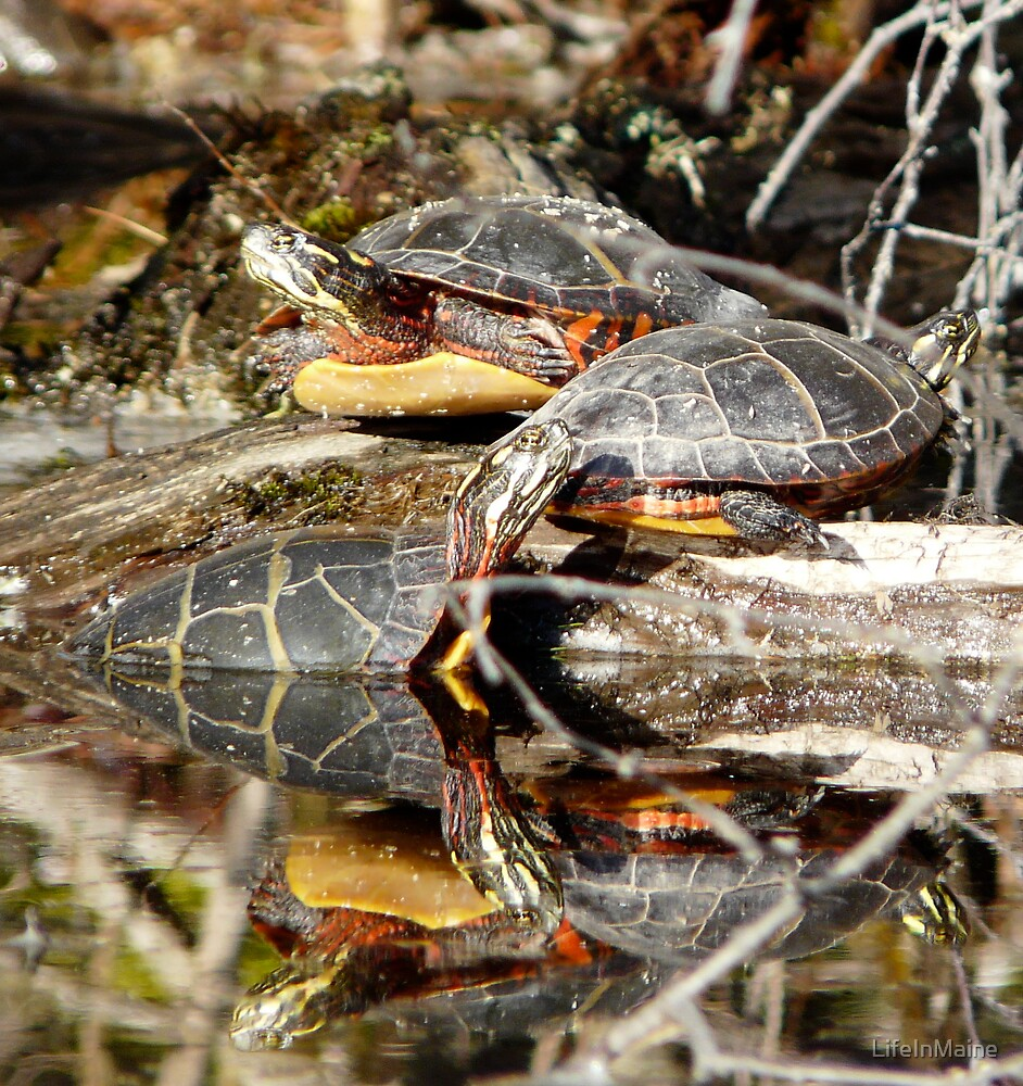 Painted Turtles by LifeInMaine