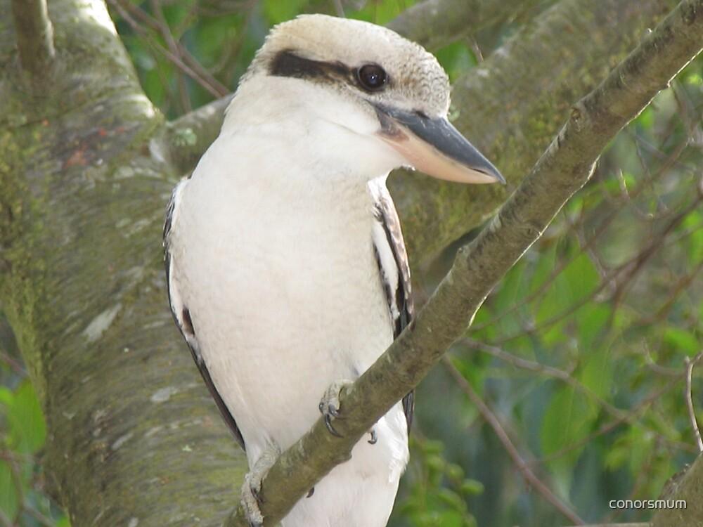 Kookaburra at Lorne by conorsmum