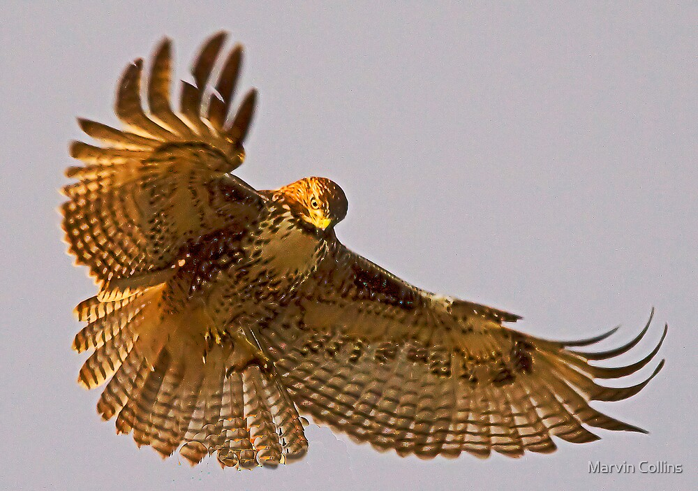Hovering by Marvin Collins