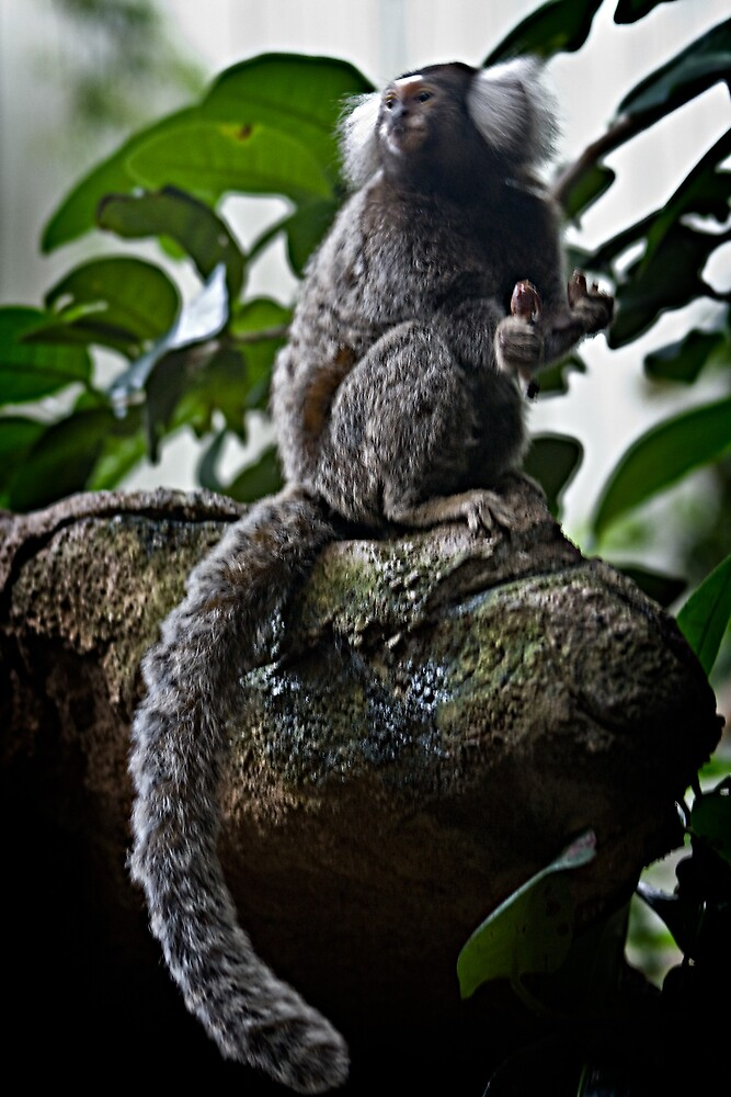White Tufted-Ear Marmoset Perching by carlhirst