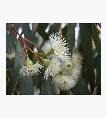 Gumnut Flowers Photographic Print